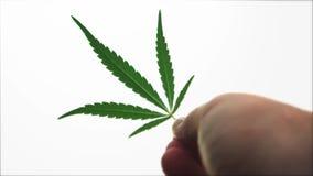 El ser humano joven de las plantas de marijuana del cáñamo escoge a dedo encima de las hojas en el fondo blanco almacen de video
