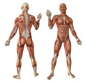 El ser humano muscles la anatomía stock de ilustración