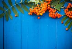 El serbal otoñal del fondo da fruto tablero de madera azul Imagenes de archivo