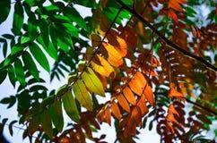 El serbal rojo del otoño se va en fondo verde de la naturaleza Imagenes de archivo