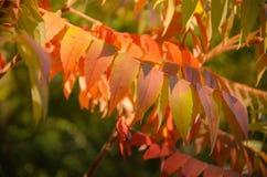 El serbal rojo del otoño se va en fondo verde de la naturaleza Foto de archivo
