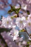 El serrulata del Prunus en la floración, árbol floreciente de la primavera rosada romántica, ramifica por completo de flores dobl Fotografía de archivo libre de regalías
