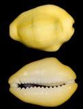 El shell del caracol del dinero Foto de archivo libre de regalías