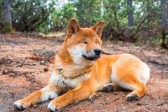 El shiba-inu joven del perro est? mintiendo abajo descansando sobre la tierra imágenes de archivo libres de regalías