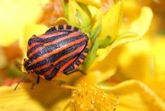 El Shieldbug rojo. Imagenes de archivo