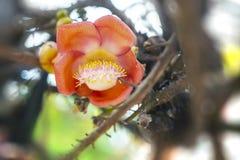 el Shorea robusta o flor de la bola de cañón que florece en el árbol de Sala foto de archivo