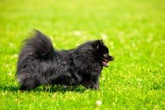 El shpitz negro corre en hierba verde en parque del verano Fotografía de archivo libre de regalías