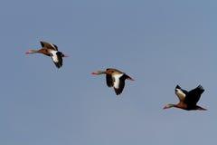 el silbar Negro-hinchado ducks (los autumnalis de Dendrocygna) Imagen de archivo libre de regalías