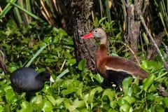 El silbar Negro-hinchado salvaje Ducks (los autumnalis de Dendrocygna) la alimentación en el jacinto de agua con una focha negra. Imagenes de archivo