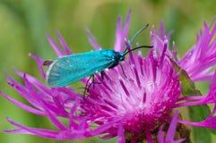 El silvicultor, statices de Adscita de la mariposa imagen de archivo