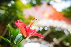 El sinensis de Rosa adentro boken el fondo Fotos de archivo libres de regalías
