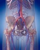 El sistema circulatorio - abdomen ilustración del vector