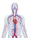El sistema circulatorio destaca el corazón Foto de archivo libre de regalías