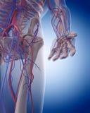 El sistema circulatorio - mano stock de ilustración