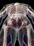 El sistema circulatorio pélvico Fotografía de archivo libre de regalías