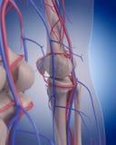 El sistema circulatorio - rodilla ilustración del vector