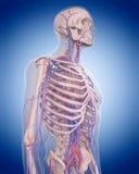 El sistema circulatorio - tórax stock de ilustración