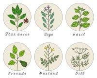 El sistema de especias, de hierbas y de officinale planta iconos Imágenes de archivo libres de regalías
