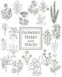 El sistema de especias, de hierbas y de officinale planta iconos Plantas curativas Fotografía de archivo libre de regalías