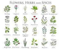 El sistema de especias, de hierbas y de officinale planta iconos Plantas curativas Imágenes de archivo libres de regalías
