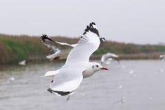 El sistema de gaviotas del vuelo, las gaviotas blancas vuela sobre el mar en Bangpu Imágenes de archivo libres de regalías