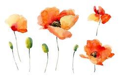 El sistema de la amapola de la acuarela florece en un fondo blanco Fotografía de archivo libre de regalías