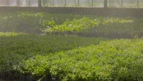 El sistema de riego autom?tico de plantas en el invernadero, sistema de irrigaci?n de la irrigaci?n en un invernadero moderno E almacen de video