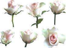 El sistema del aix aisló las floraciones color de rosa de la luz fotos de archivo libres de regalías