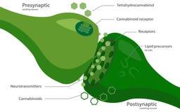 El sistema del endocannabinoid stock de ilustración