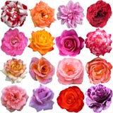 El sistema grande de rosas Imágenes de archivo libres de regalías
