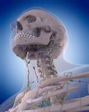 El sistema linfático - el cuello Imágenes de archivo libres de regalías