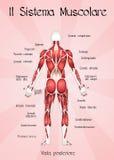 El sistema muscular Foto de archivo libre de regalías