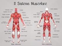 El sistema muscular Imágenes de archivo libres de regalías