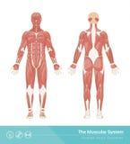 El sistema muscular Fotografía de archivo libre de regalías