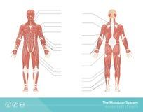 El sistema muscular Fotografía de archivo