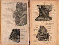 El sistema muscular humano Imágenes de archivo libres de regalías