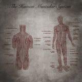 El sistema muscular humano, parte del cuerpo Foto de archivo libre de regalías