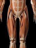 El sistema muscular masculino Imagen de archivo libre de regalías