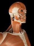El sistema muscular masculino Imagenes de archivo