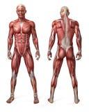 El sistema muscular masculino Imagen de archivo