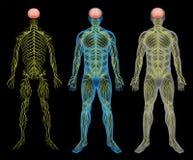 El sistema nervioso Fotografía de archivo
