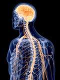 El sistema nervioso humano stock de ilustración
