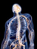 El sistema nervioso humano ilustración del vector
