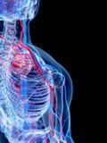 El sistema vascular humano Fotos de archivo