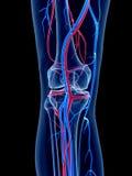 El sistema vascular humano Imagen de archivo