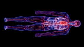 El sistema vascular humano