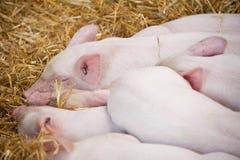 El Snoozing Pigglets Imagen de archivo libre de regalías