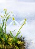 El snowdrop de Art Spring florece con nieve en el bosque Imagenes de archivo