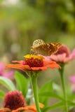 El socavar de la mariposa polen de una flor roja Fotografía de archivo