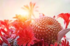 El sol brilla brillantemente a través de las flores rojas del cactus Imagen de archivo